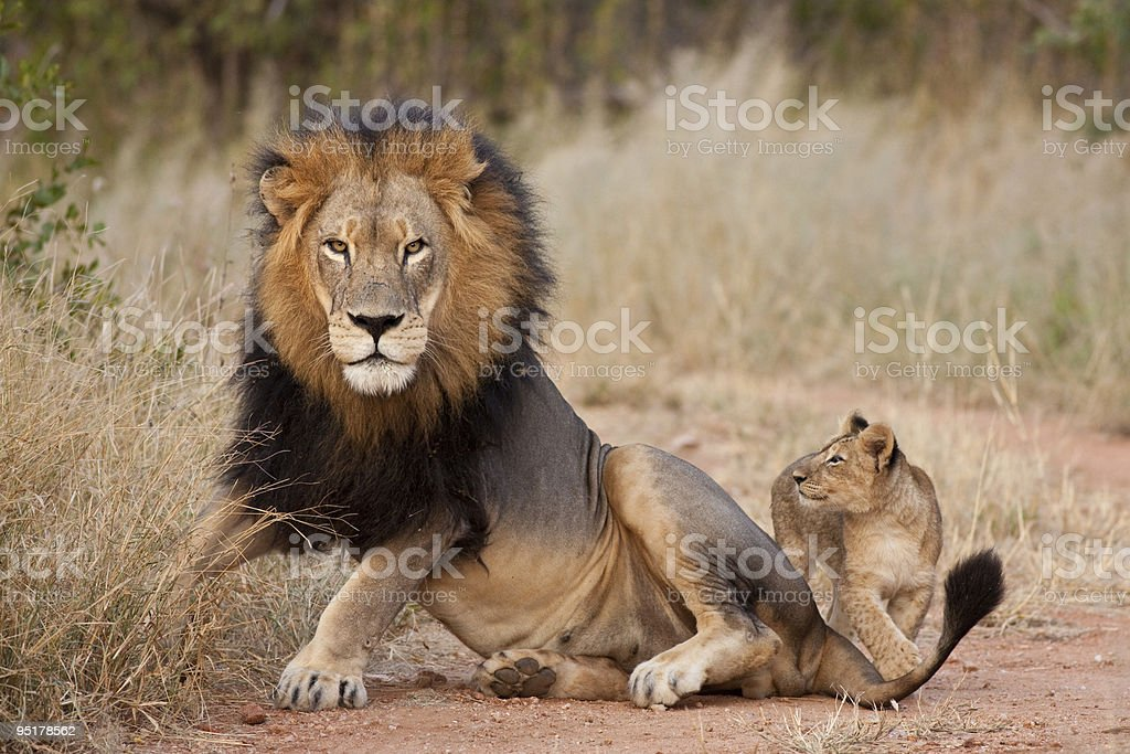 Male lion and cub laying in grass stock photo