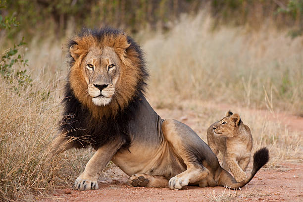 Male lion and cub laying in grass A playful young lion cub seeks attention from his father in South Africa. lion cub stock pictures, royalty-free photos & images