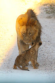 A male lion looking after a cub on a dusty road.
