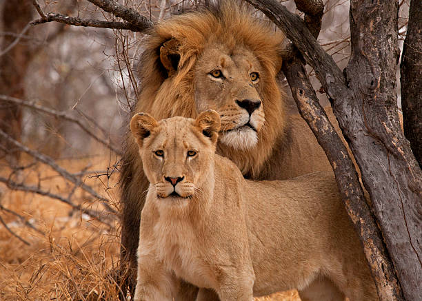 Male Lion  (Panthera leo) and Lioness Male and Female lion in South Africa. kruger national park stock pictures, royalty-free photos & images