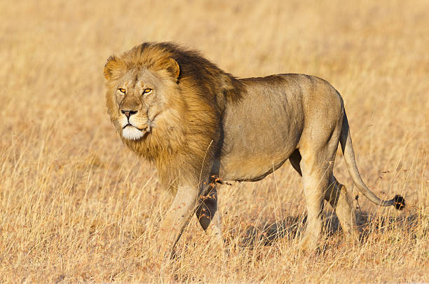 Male Lion and the Golden Serengeti Savanna, Tanzania Africa Lion, Male  male animal stock pictures, royalty-free photos & images