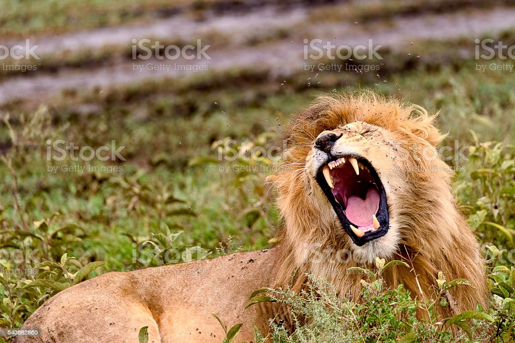Male lion bares teeth stock photo