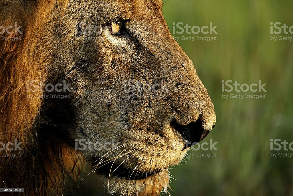 Male Lion Close up stock photo