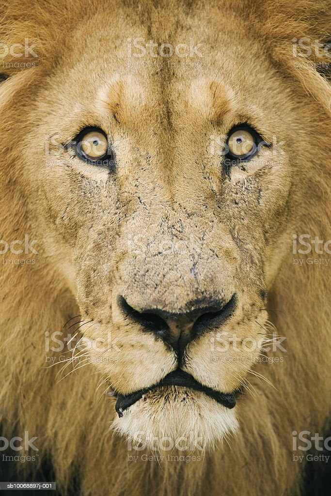 Male lion (Panthera leo), close-up photo libre de droits