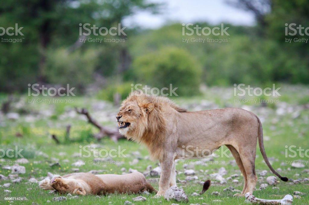 Male Lion doing a flehmen grimace. Male Lion doing a flehmen grimace in the Etosha National Park, Nambia. Africa Stock Photo