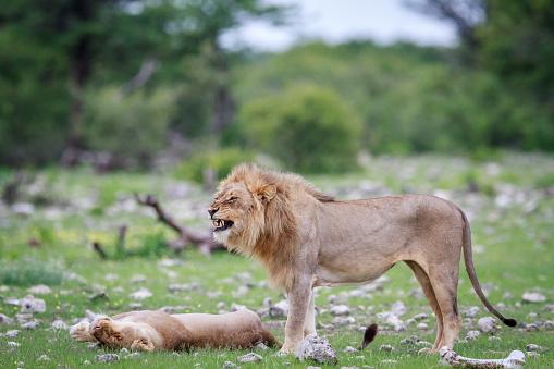 Male Lion Doing A Flehmen Grimace Stock Photo - Download Image Now
