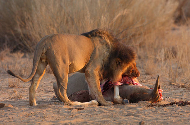 Lions Eating Prey Stock Photos, Pictures & Royalty-Free Images ...