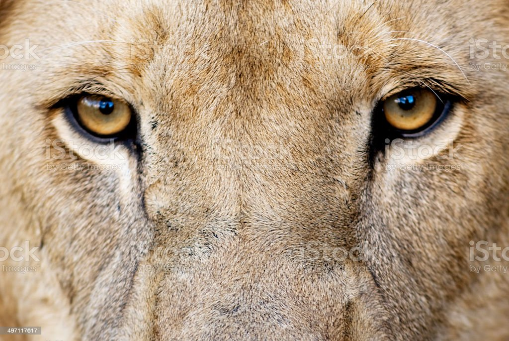 Royalty Free Lion Eyes Pictures, Images and Stock Photos ...