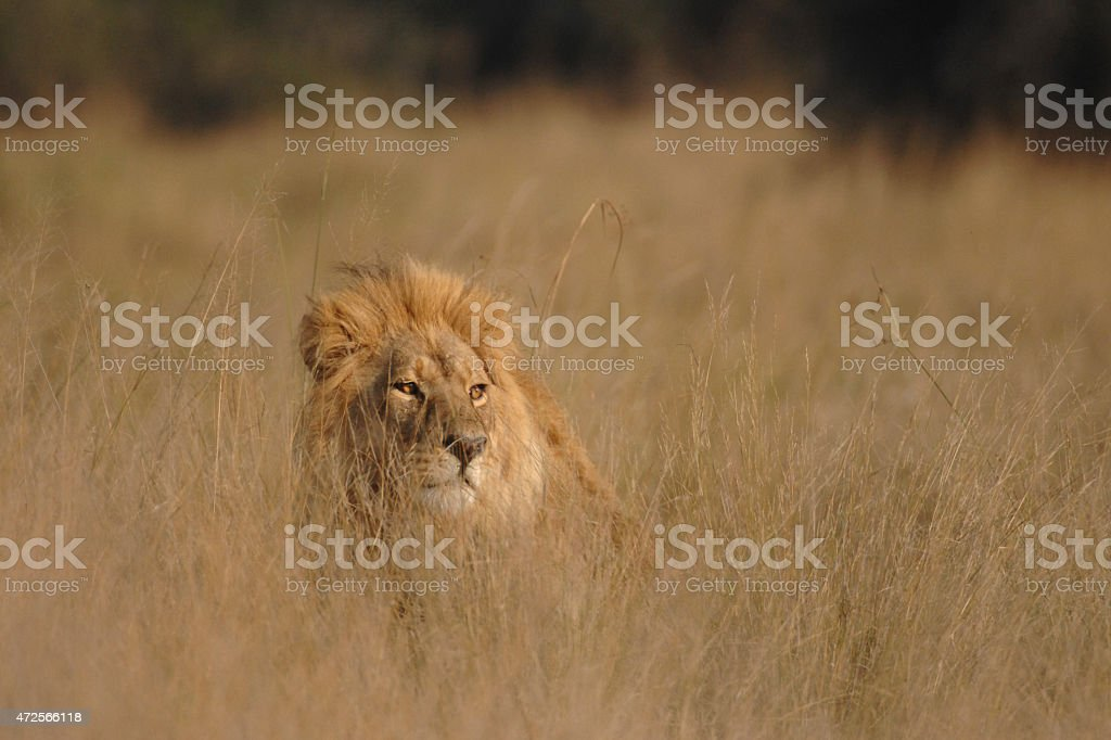 Male Lion hiding in long grass stock photo
