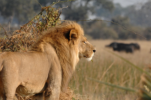 Male Lion Hunting Buffalo Stock Photo - Download Image Now