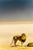 A male lion in a gust front at an Etosha waterhole, Namibia