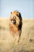 A male lion in Etosha National Park, Namibia.