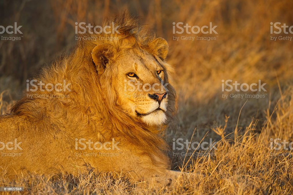 Male Lion in golden afternoon light, Ngorongoro Crater, Tanzania Africa stock photo