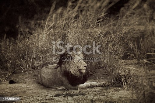 Vintage portrait's of a male lion in Kruger Wildlife Reserve, South Africa
