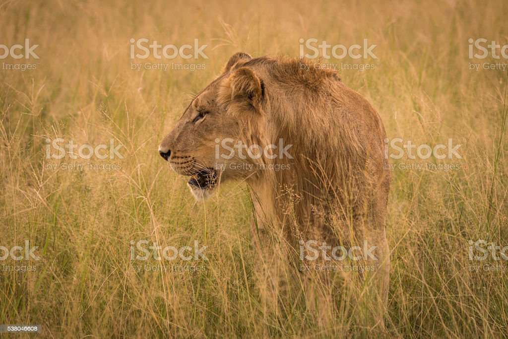 Male lion in long grass facing left stock photo