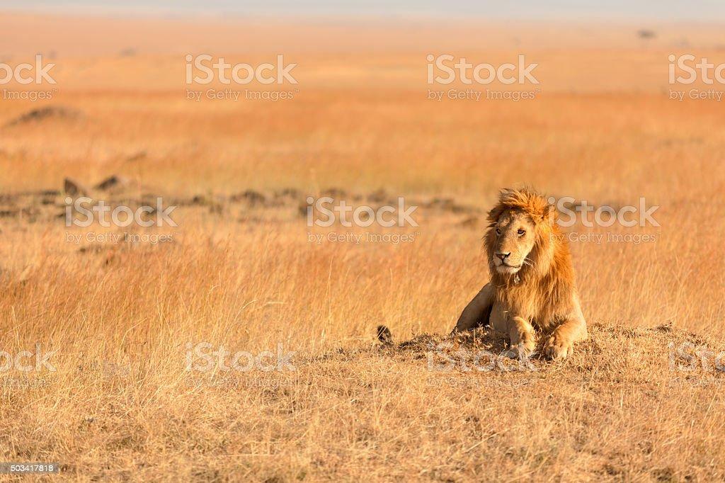 Male lion de Masaï Mara, Kenya - Photo