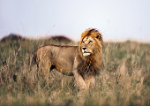 istock Male lion in Masai Mara national park. 1210769568