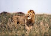 Male lion in Masai Mara wilderness. Copy space.