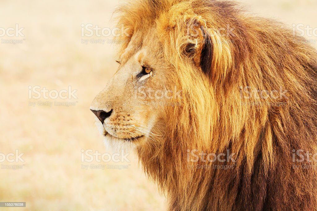 Male lion in Masai Mara royalty-free stock photo