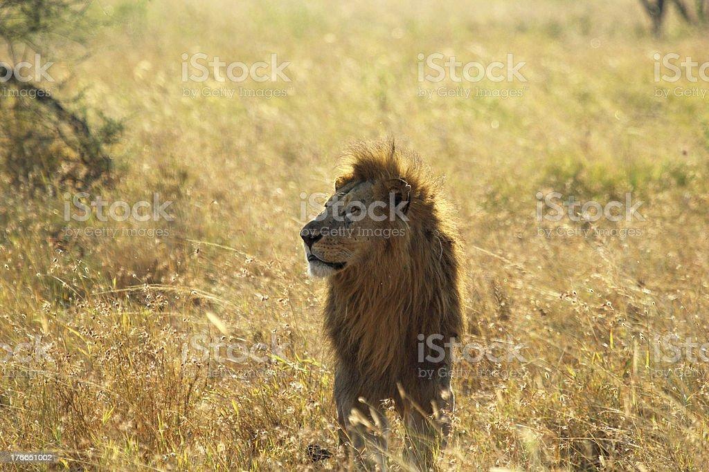 Macho león en savannah foto de stock libre de derechos
