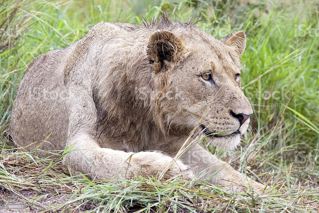 Male Lion in the bush royalty-free stock photo