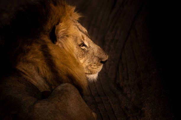 Male Lion in the Dark stock photo
