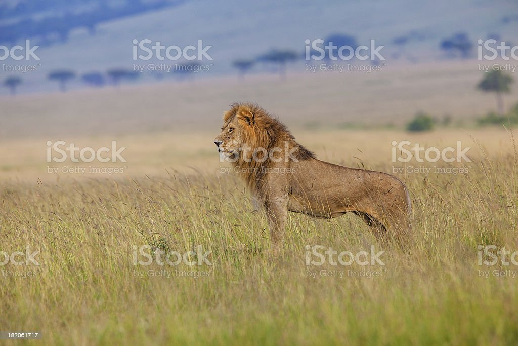 Male lion in the savanna Masai Mara Kenia stock photo