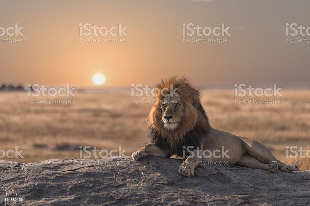 Un lion mâle est assis sur le rocher, je regarde sa terre. - Photo