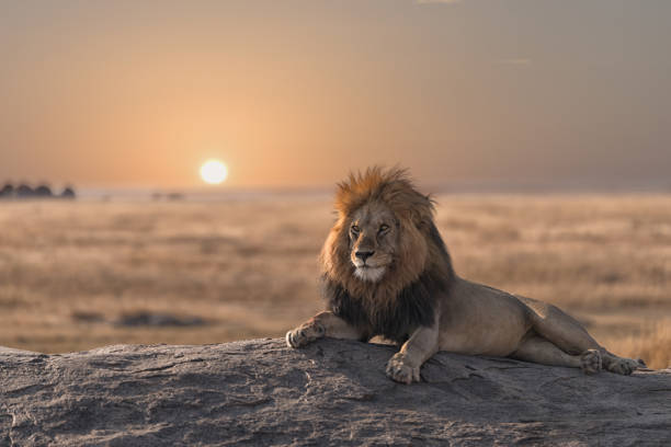 a male lion is sitting on the rock, watching his land. - lion stock photos and pictures