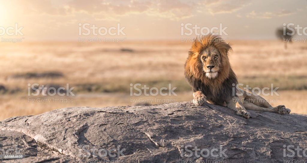 A male lion is sitting on the top of the rock and watching his land . stock photo