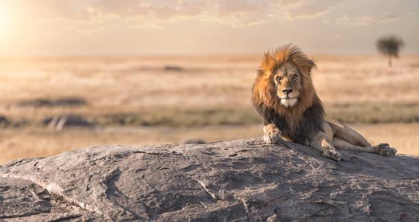 雄ライオンが岩の上に座っていると、彼の土地を見ています。 - 野生動物旅行 ストックフォトと画像