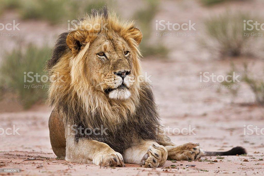 Male lion lay in kgalagadi stock photo