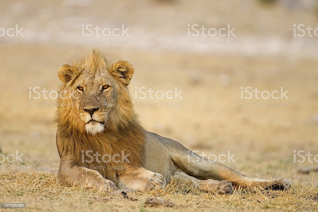 Male lion laying in open field stock photo