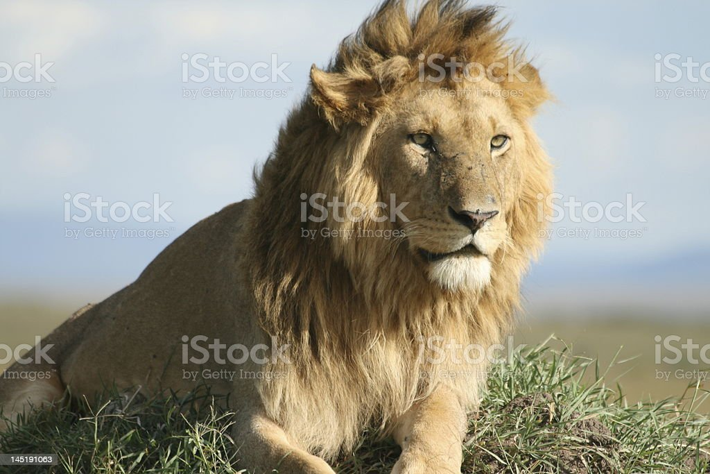 Male lion lying and watching royalty-free stock photo
