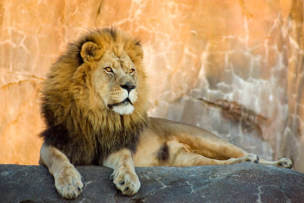Male lion lying on concrete floor at sunset with orange wall stock photo