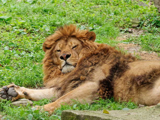Male lion lying on green grass field, looks tired and need a good sleep. stock photo