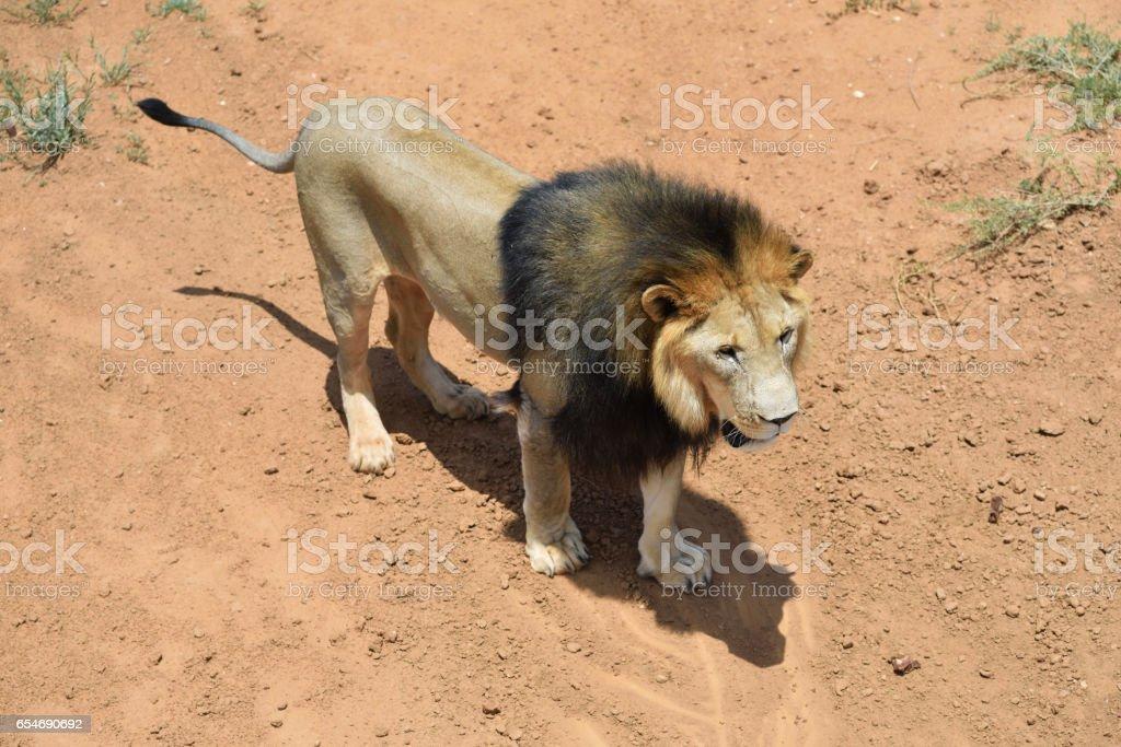 Male lion, Namibia stock photo