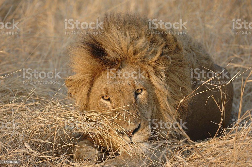 Male Lion No.1 royalty-free stock photo