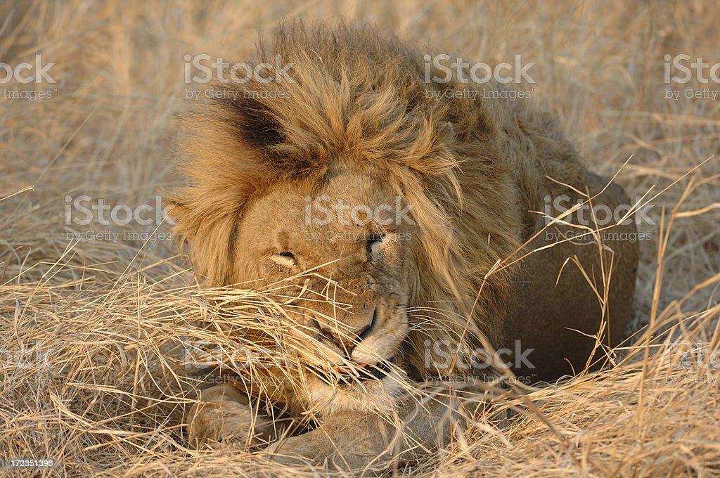 León macho nº 2 foto de stock libre de derechos