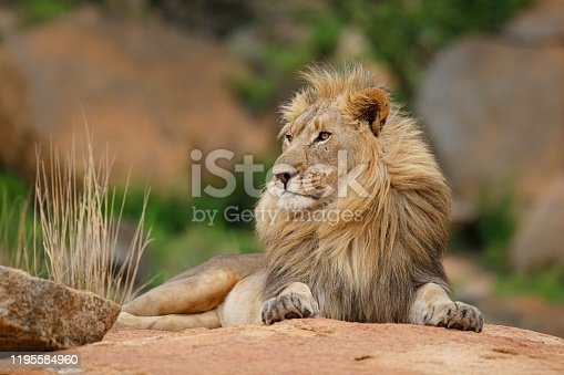 Male lion on a rocky hill looking over the Nkomazi game reserve at Badplaas in South Africa