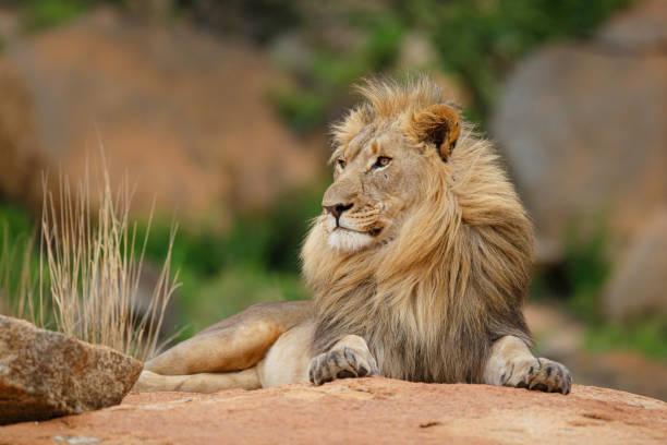 Male lion on a rocky hill picture id1195584960?b=1&k=6&m=1195584960&s=612x612&w=0&h=lwj2zms8vqmtlm18rz9 v6toy1pjh2ob9hzqfmgcazy=