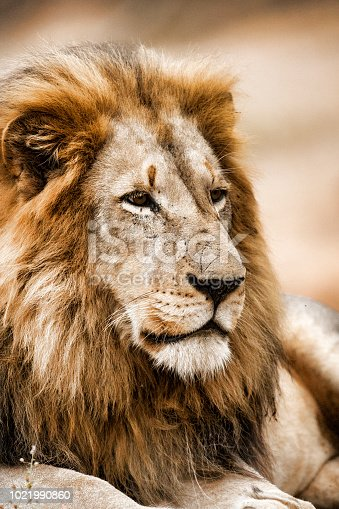A close up image of a male Lion. Taken in Kruger National Park, South Africa
