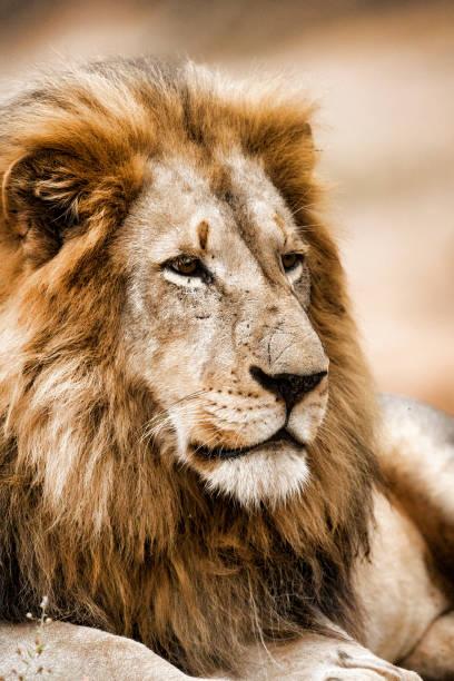 雄ライオン  - 野生動物旅行 ストックフォトと画像