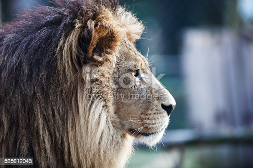 Side view of a lion.