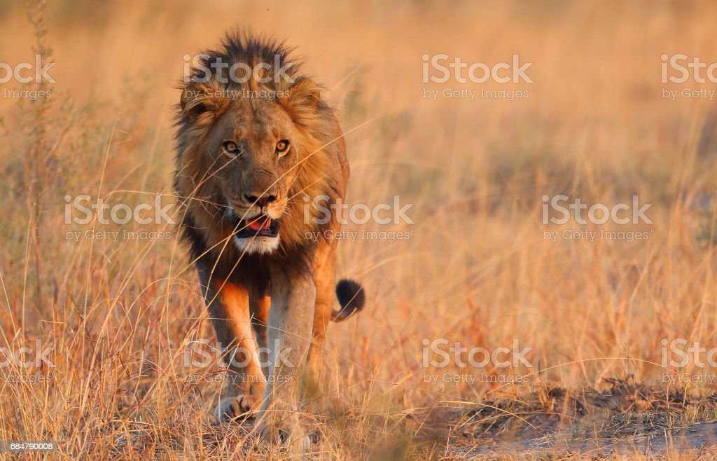 León macho - foto de stock