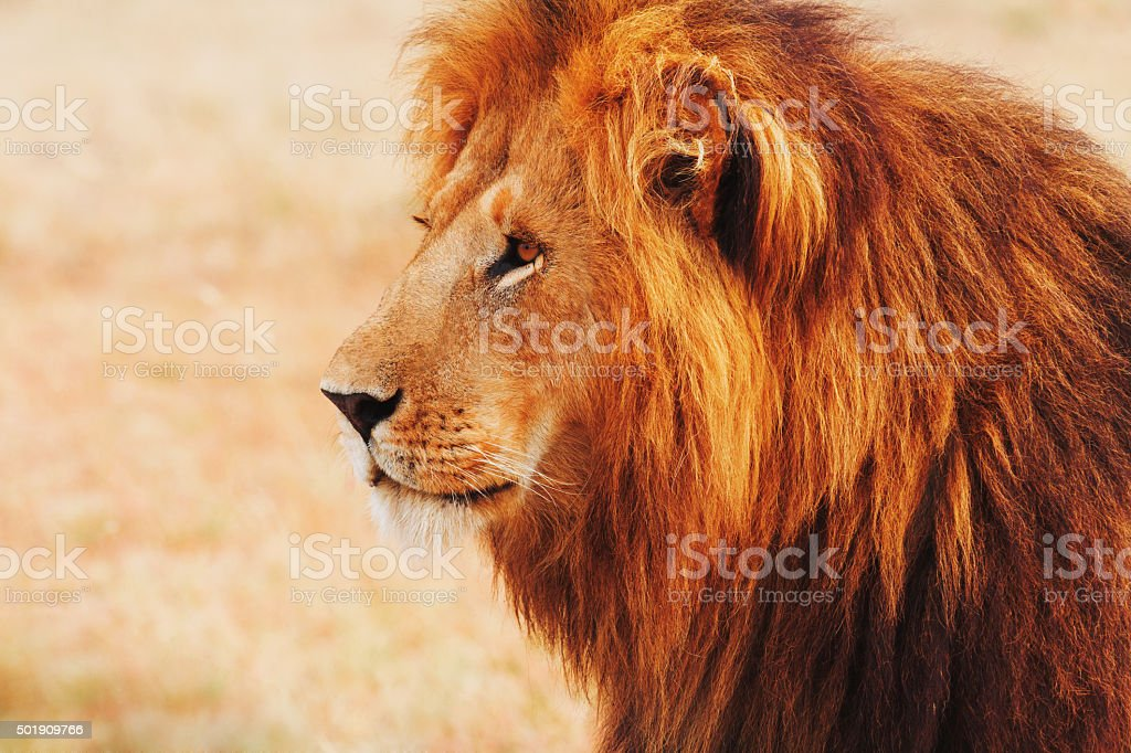 Male lion portrait in Masai Mara, Kenya stock photo