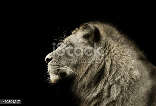 A young male lion looks off into the distance