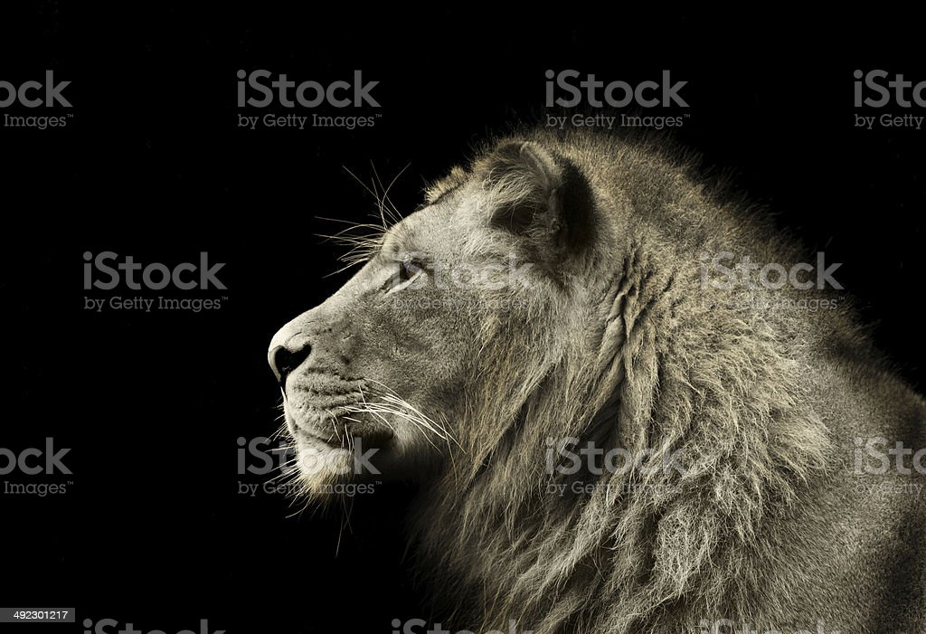 Male Lion Profile stock photo