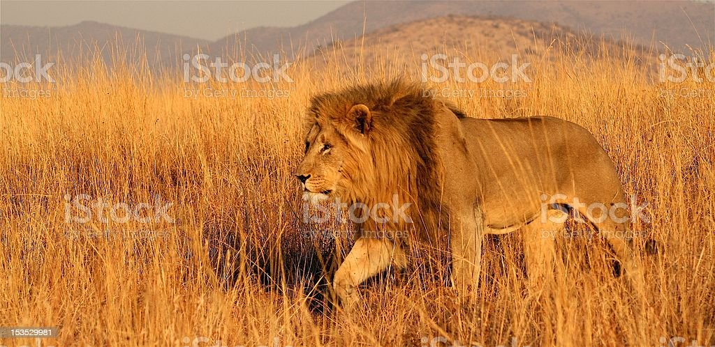 Male lion prowling through the African savanna stock photo