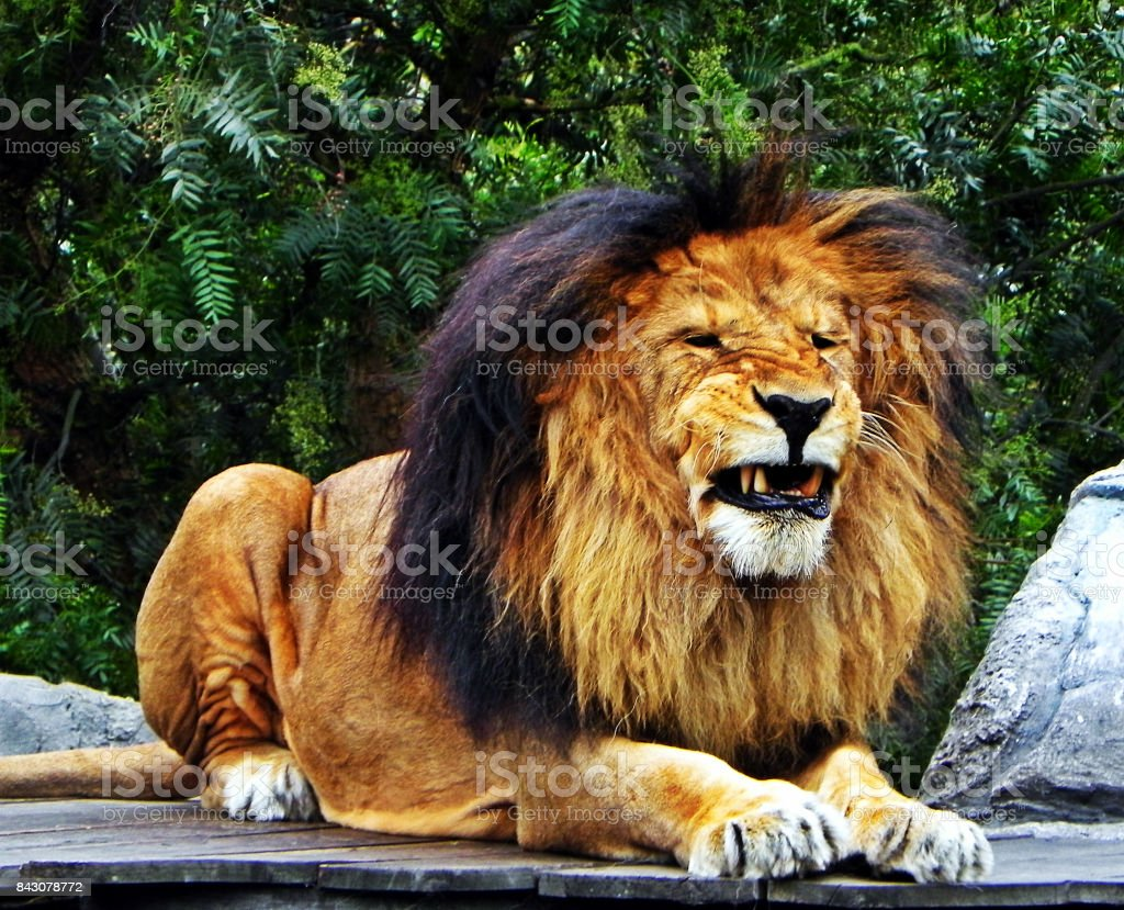 A male lion pulling teeth stock photo